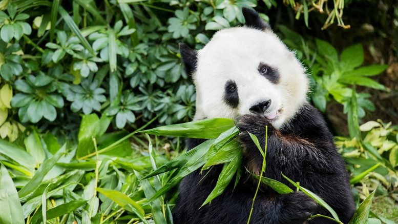Giant panda in Ocean Park